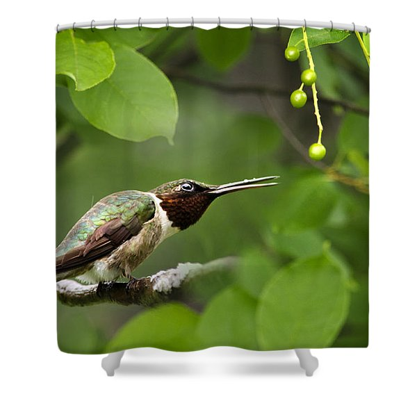 Hummingbird Hiding In Tree Shower Curtain by Christina Rollo