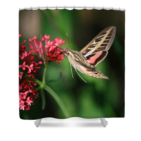 Hummingbird Moth Shower Curtain by Donna Kennedy