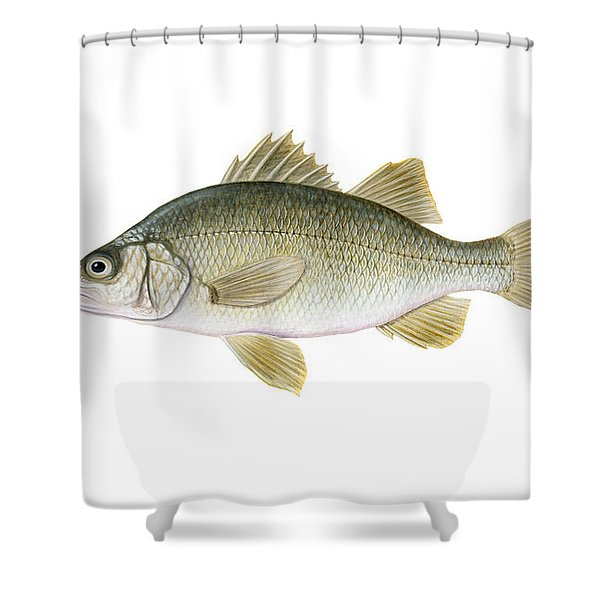 Illustration Of A White Perch Morone Shower Curtain by Carlyn Iverson