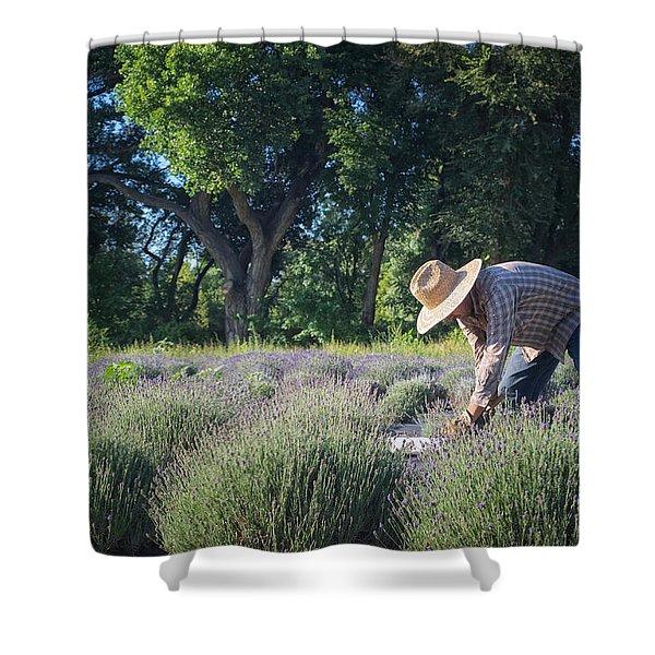 Lavender Harvest Shower Curtain by Mary Lee Dereske