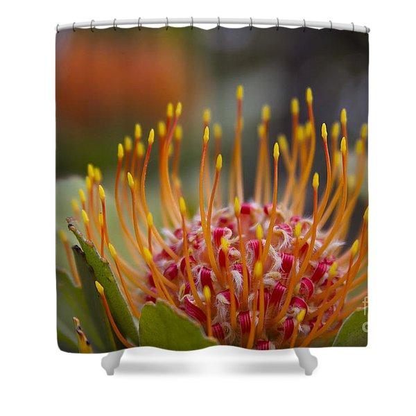 Leucospermum Pincushion Protea - Tropical Sunburst Shower Curtain by Sharon Mau