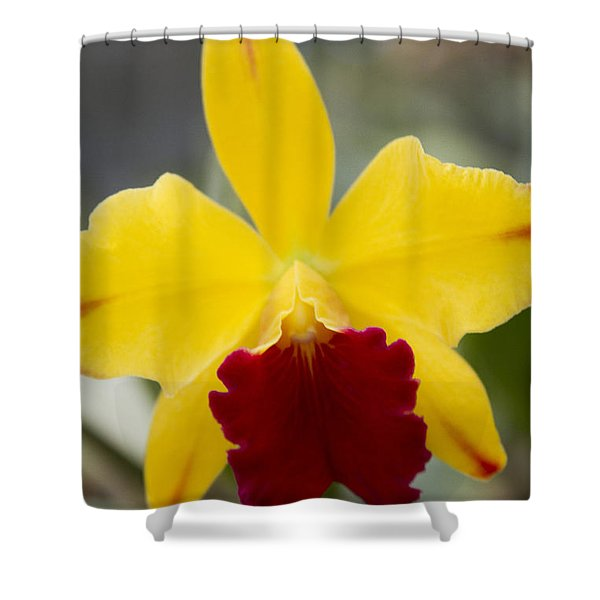 Orchid Beauty - Cattleya - Pot Little Toshie Mini Flares Mericlone Hawaii Shower Curtain by Sharon Mau