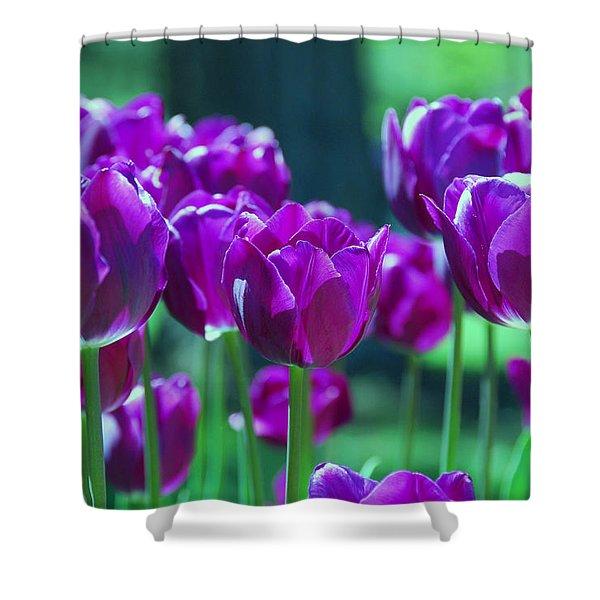 Purple Tulips Shower Curtain by Allen Beatty
