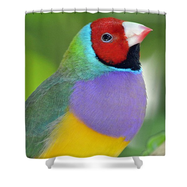 Red Faced Gouldian Finch Shower Curtain by Richard Bryce and Family