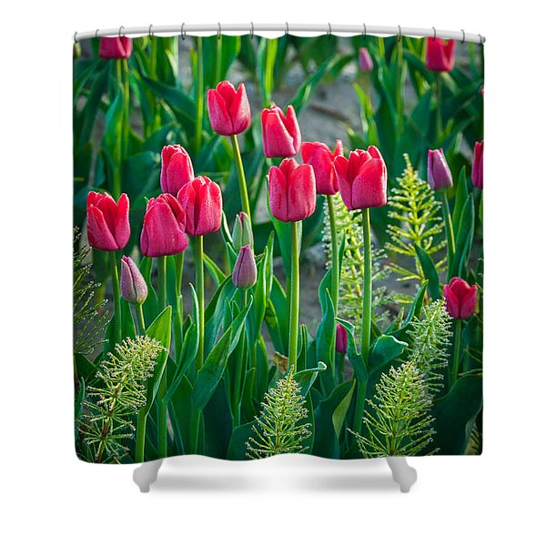 Red tulips in Skagit Valley Shower Curtain by Inge Johnsson