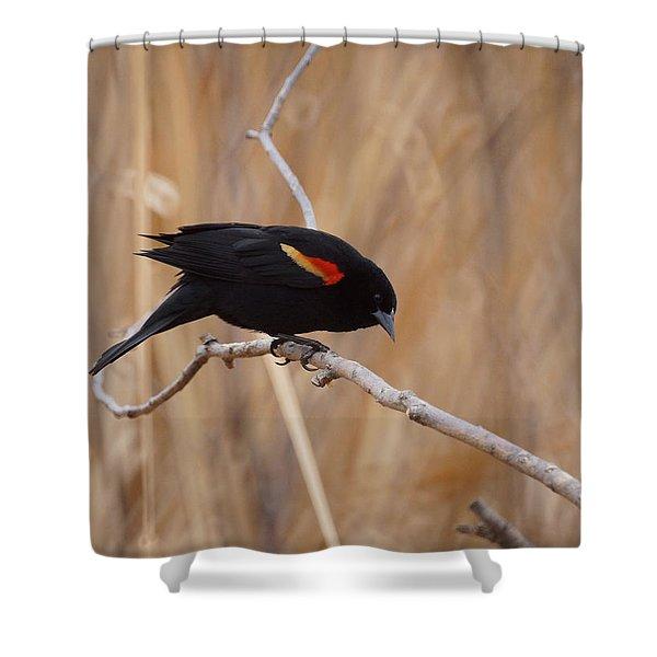 Red Winged Blackbird 1 Shower Curtain by Ernie Echols