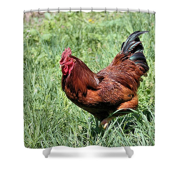 Rhode Island Red Shower Curtain by Kristin Elmquist
