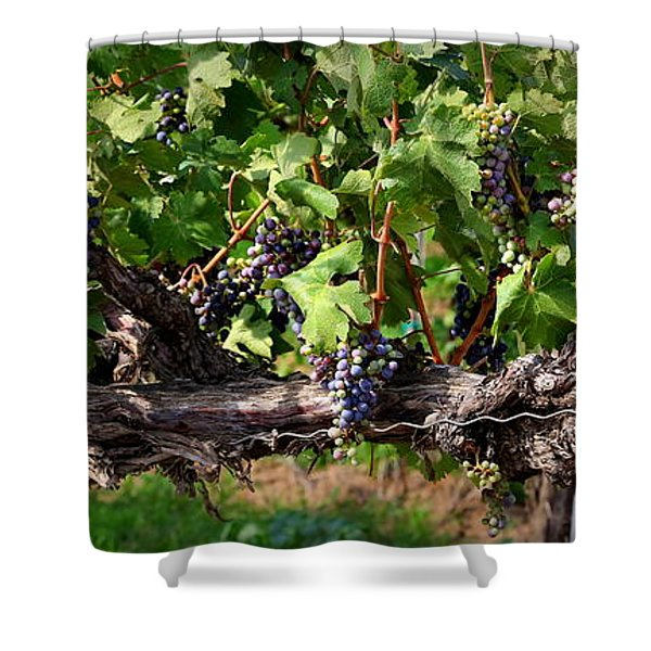 Ripening Grapes Shower Curtain by Carol Groenen