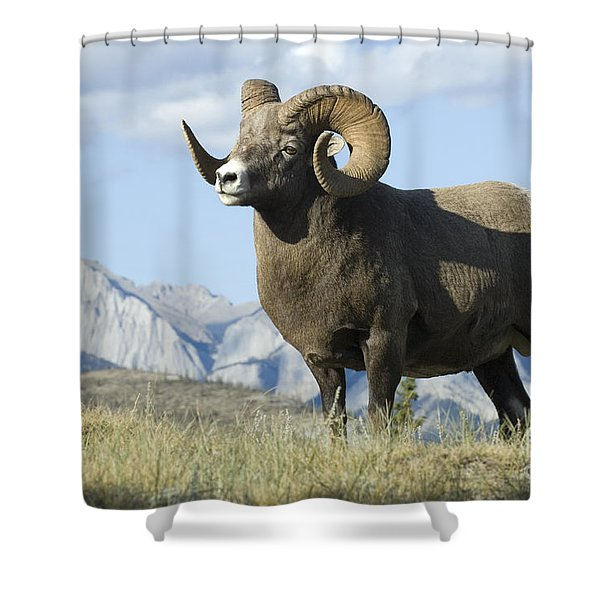 Rocky Mountain Big Horn Sheep Shower Curtain by Bob Christopher