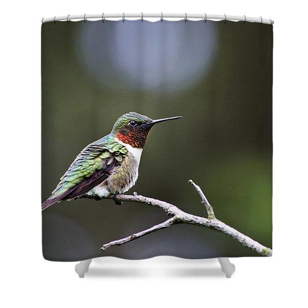 Ruby Throated Hummingbird Spotlight Shower Curtain by Christina Rollo