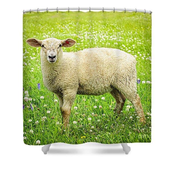 Sheep in summer meadow Shower Curtain by Elena Elisseeva
