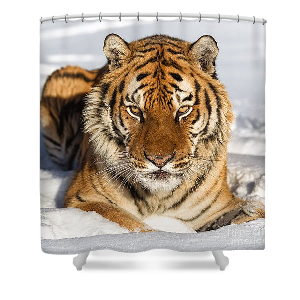 Siberian Tiger Face To Face Shower Curtain by Jerry Fornarotto