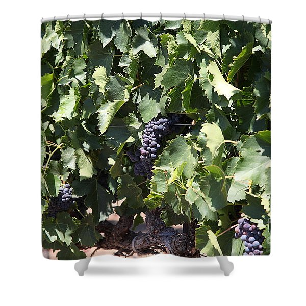 Sonoma Vineyards In The Sonoma California Wine Country 5d24489 Shower Curtain by Wingsdomain Art and Photography