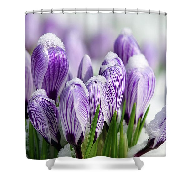 Striped Purple Crocuses in the Snow Shower Curtain by Sharon  Talson