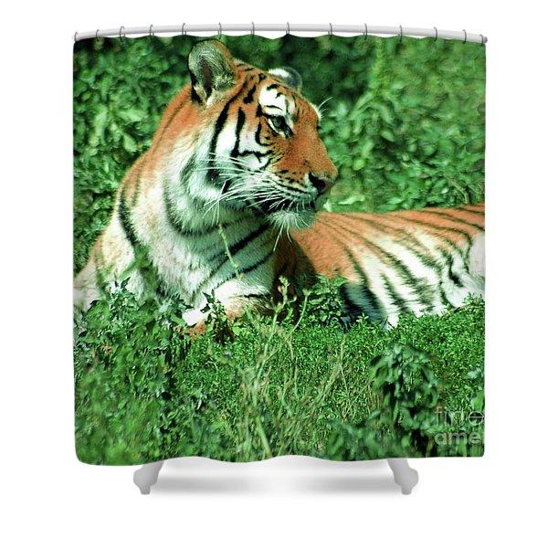 Tiger Shower Curtain by Kathleen Struckle