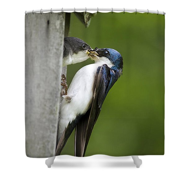 Tree Swallow Feeding Chick Shower Curtain by Christina Rollo