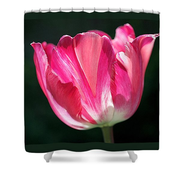 Tulip Painted in Shades of Pink Shower Curtain by Rona Black