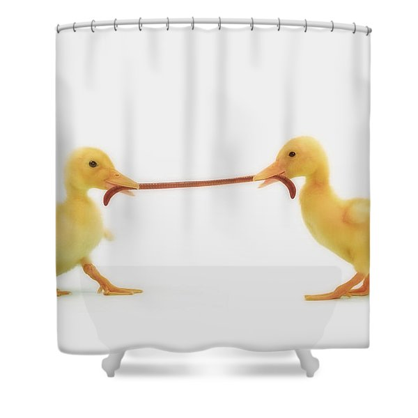 Two Baby Ducklings Fighting Shower Curtain by Thomas Kitchin & Victoria Hurst