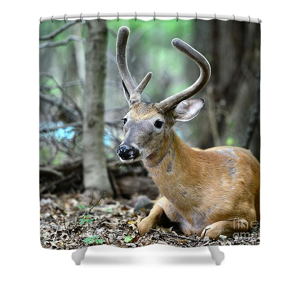 Young Buck at rest Shower Curtain by Paul Ward