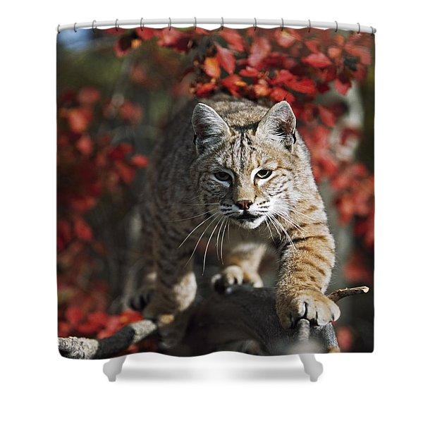 Bobcat Felis Rufus Walks Along Branch Shower Curtain by David Ponton