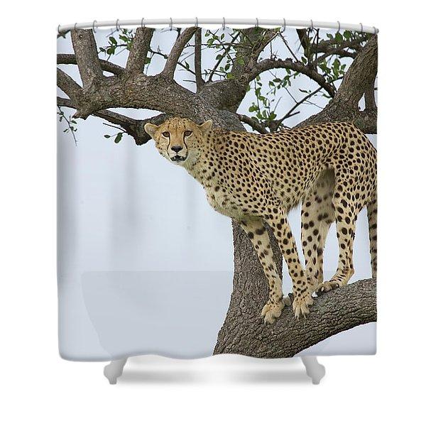 Cheetah Acinonyx Jubatus Female Shower Curtain by Suzi Eszterhas