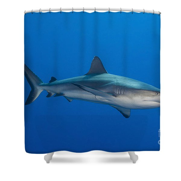 Gray Reef Shark, Kimbe Bay, Papua New Shower Curtain by Steve Jones
