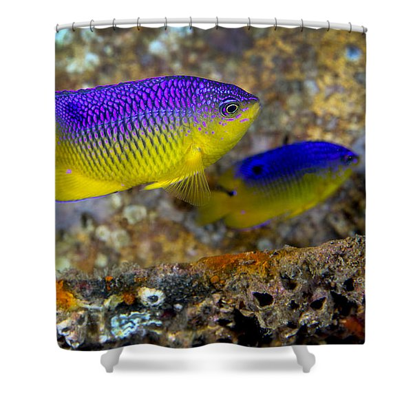 A Pair Of Juvenile Cocoa Damselfish Shower Curtain by Michael Wood
