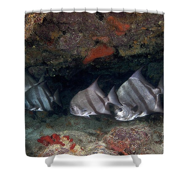 A School Of Atlantic Spadefish Shower Curtain by Terry Moore