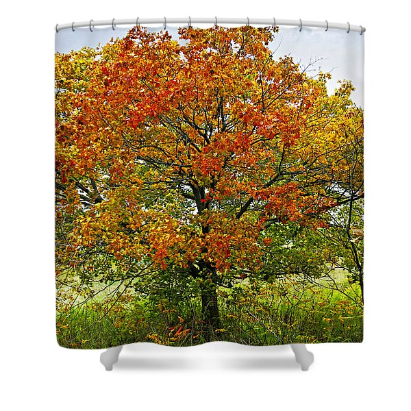 Autumn maple tree Shower Curtain by Elena Elisseeva