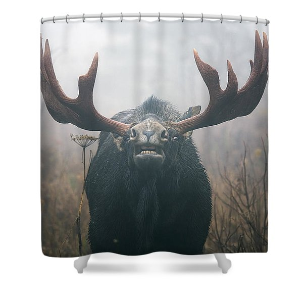 Bull Moose Testing Air For Pheromones Shower Curtain by Philippe Henry