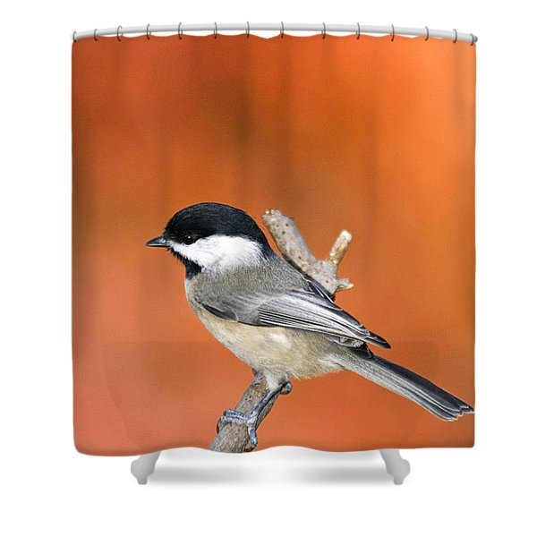 Carolina Chickadee - D007812 Shower Curtain by Daniel Dempster