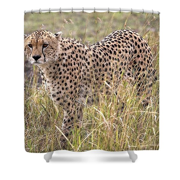 Cheetah Acinonyx Jubatus, Masai Mara Shower Curtain by Chris Upton