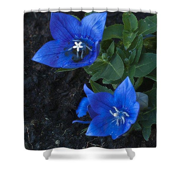 Dwarf Balloon Flower Platycodon Astra Blue  Shower Curtain by Steve Purnell