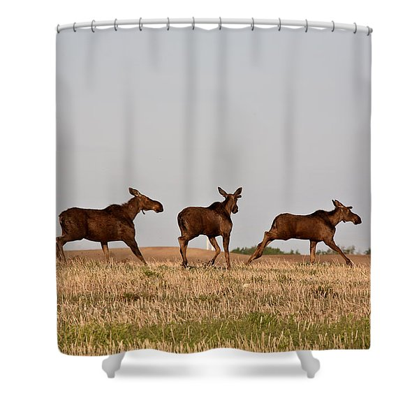 Female Moose With Male Calves In Saskatchewan Field Shower Curtain by Mark Duffy