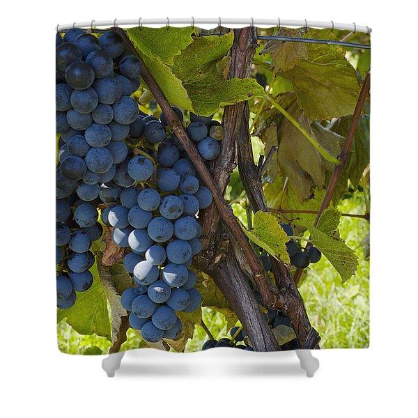 Grapes On A Vine Sutton Junction Quebec Shower Curtain by David Chapman