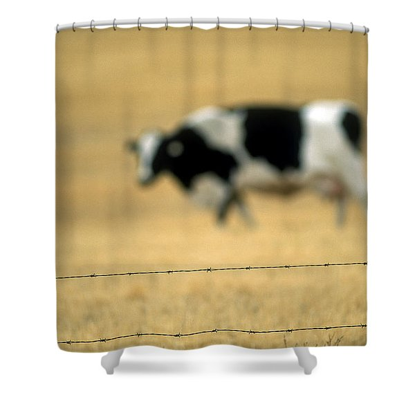 Grazing Cow, Alberta, Canada Shower Curtain by Ron Watts