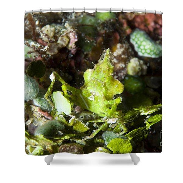 Green Arrowhead Crab, Papua New Guinea Shower Curtain by Steve Jones