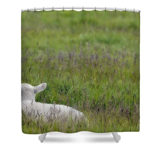Lamb In Pasture, Alberta, Canada Shower Curtain by Darwin Wiggett