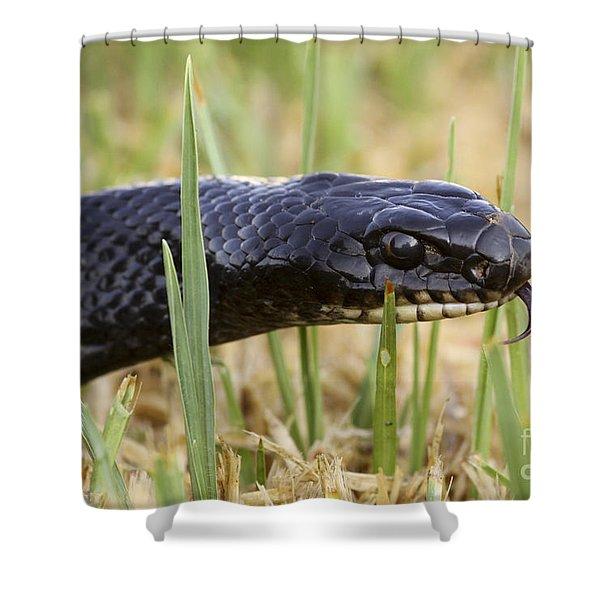 Large Whipsnake Coluber jugularis Shower Curtain by Alon Meir