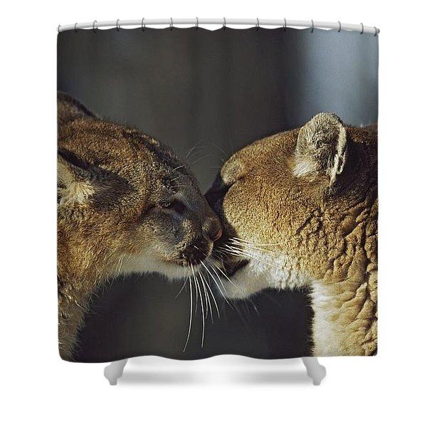 Mountain Lion Felis Concolor Cub Shower Curtain by David Ponton