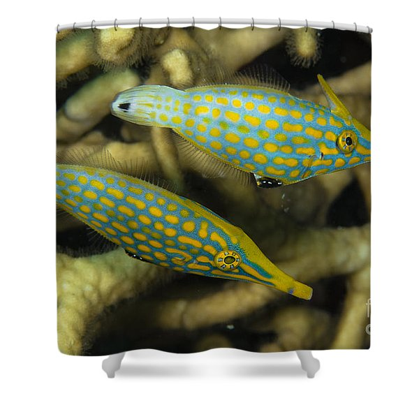 Pair Of Comet Fish, Australia Shower Curtain by Todd Winner