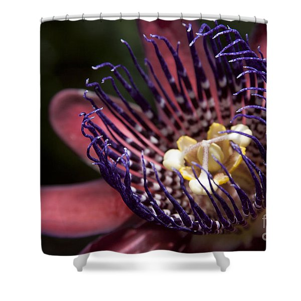 Passiflora alata - Winged Stem Passion Flower - Ruby Star - Ouvaca Shower Curtain by Sharon Mau