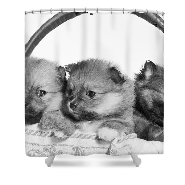 Pomeranian Shower Curtain by Everet Regal