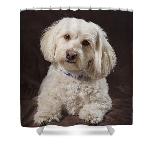 Shih Tzu-poodle On A Brown Muslin Shower Curtain by Corey Hochachka
