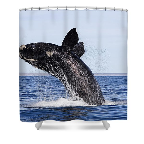 Southern Right Whale Shower Curtain by Francois Gohier and Photo Researchers