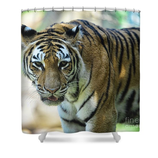 Tiger - Endangered - Wildlife Rescue Shower Curtain by Paul Ward