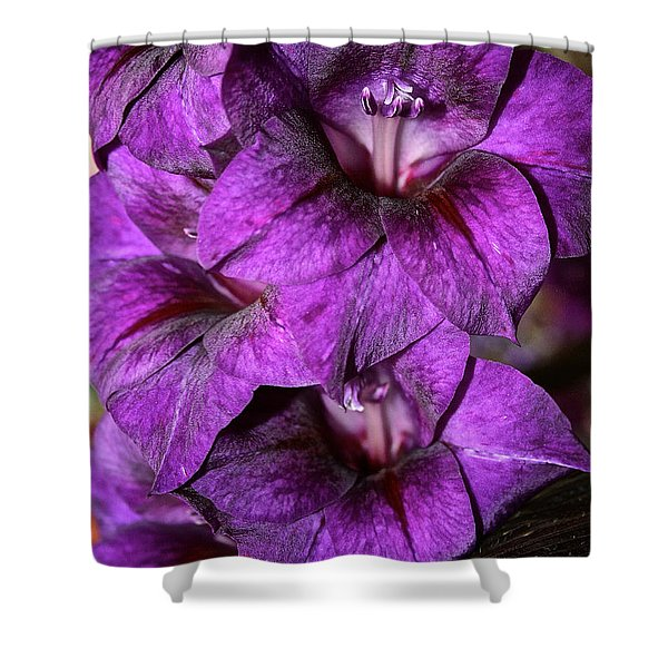 Violet Glads Shower Curtain by Susan Herber