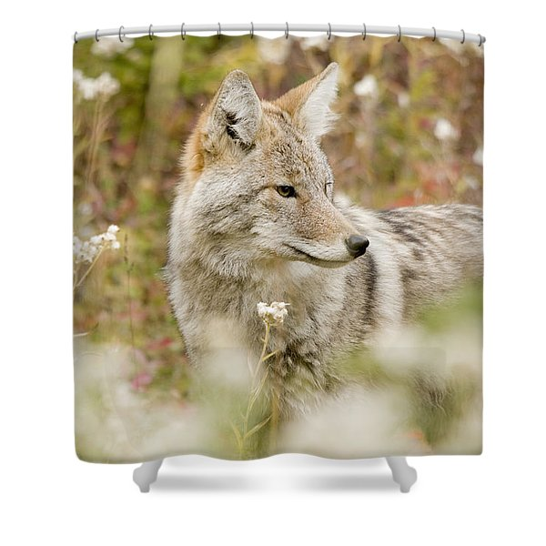 Young Coyote Canis Latrans In A Forest Shower Curtain by Philippe Widling