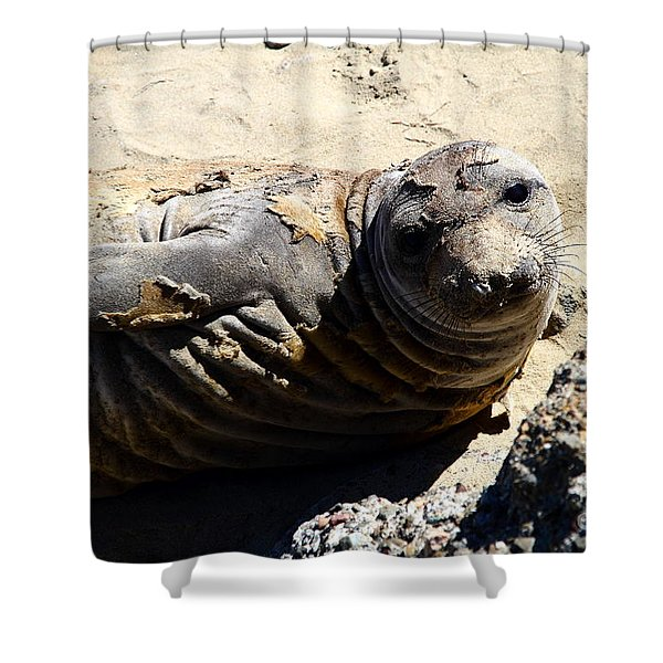 Young Elephant Seal Molting . 7D16091 Shower Curtain by Wingsdomain Art and Photography