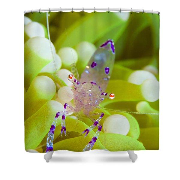 Commensal Shrimp On Green Anemone Shower Curtain by Steve Jones
